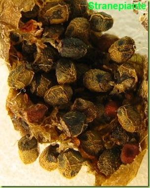 frutto-semi-rebutia-pygmaea