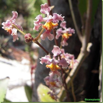 orchidea-giardino-botanico-riviera-maya