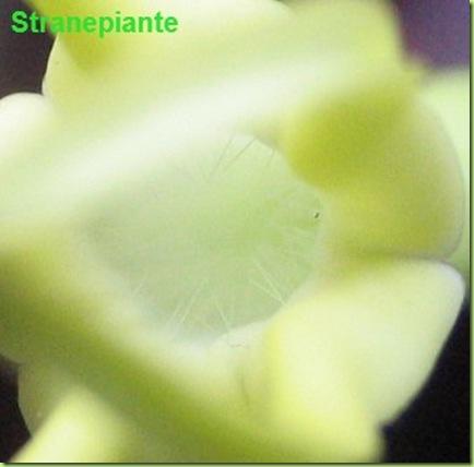 interno fiore ceropegia dicotoma