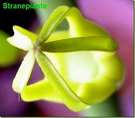 Ceropegia Dichotoma fiore gabbia