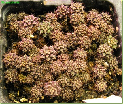 1 giugno 2009 Gymnocalycium damsii x stenopleurum semina
