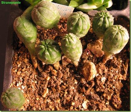 euphorbia pbesa semina 10 giugno