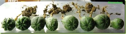 semenzali euphorbia obesa