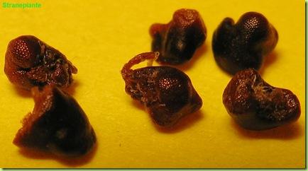 astrophytum caput medusae seeds