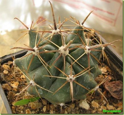 bo13 ferocactus bo6