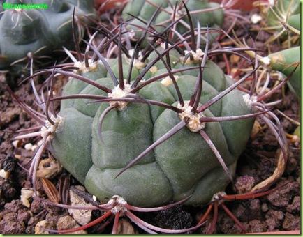 bo16 ferocactus bo2