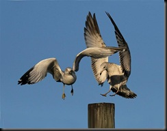 i1 cc 78 Ring-billed Gulls