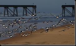 Oystercatchers Taking Flight