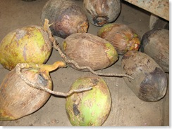 Goan coconuts with Mites