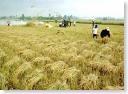 Goa rice