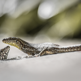 The charming lizards by Stwayne Keubrick - Animals Reptiles ( reptiles, lizard, lizard image, animals, macro lens, images of lizards, reptile, lizards, close up, animal )
