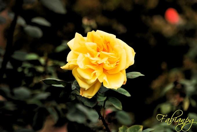 La Rosa de la Amistad