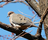 Gorgeous Mourning Dove