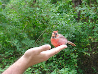 This was the only Cardinal to eat from our hands