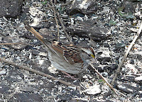 White-throated Sparrow taken during the Great Backyard Bird Count, February 16, 2008