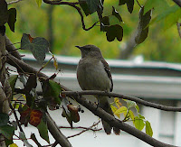 Northern Mockingbird in the yard on 4/27/08