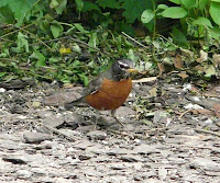 Boyd the Robin