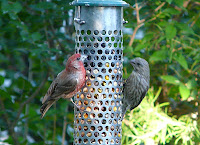 Pair on the feeder on 8/12/08. There are at least 15 House Finches this summer - lots of babies!