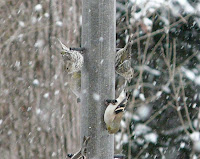 My first yard Pine Siskins!! Three showed up today 1/18/09