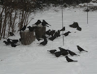 Snowstorm March 2, 2009 - about 150 Grackles descended on the yard