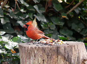 Cardinal eating sunflower seeds and nuts