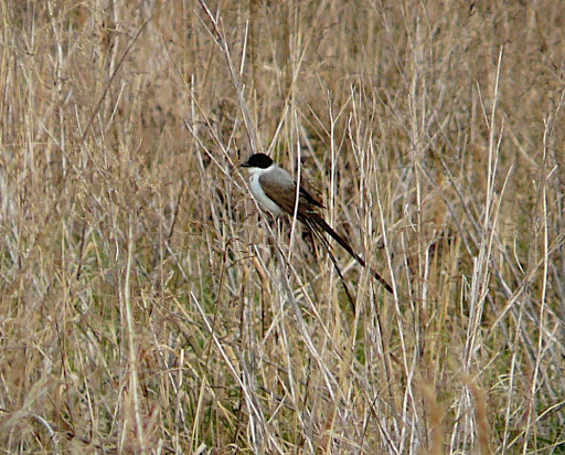 FORK-TAILED FLYCATCHER! Stamford, CT, 11/20/10