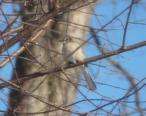 Beautiful Mockingbird visiting the yard
