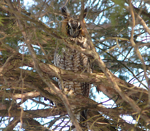 Long-eared Owl (first individual bird) on private property in Bergen County, Jan. 31, 2011. A lifer for me!