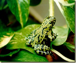 fire_belly_toad