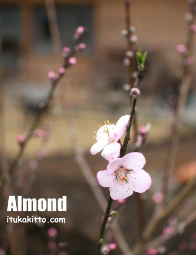 アーモンドの花が咲いた in  川の家