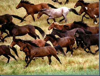 Wild-Mustangs,-Gardner-Ranch,-California