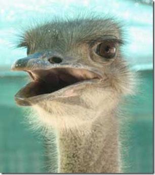 Ostrich_05