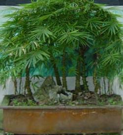 [bambú[2].jpg]