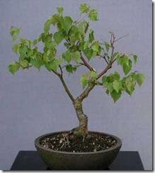 betula-alba, abedul