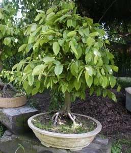 [carpinus-betulus-carpe blanco[2].jpg]