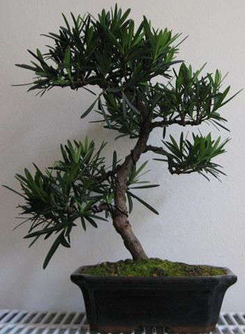 [Podocarpus[2].jpg]