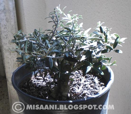 [prebonsai olivo[2].jpg]