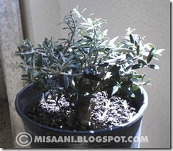 prebonsai olivo