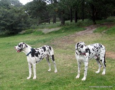 We met a father/son pair of Great Danes in Centennial Park