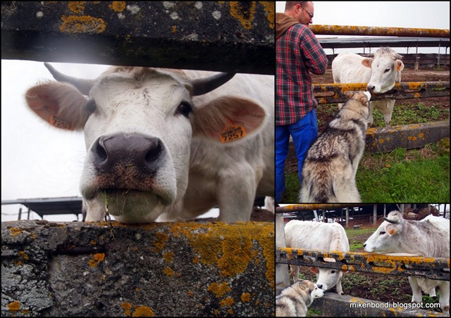 2011-03-02 Munson cow sniffing