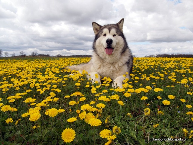 King of the daisies