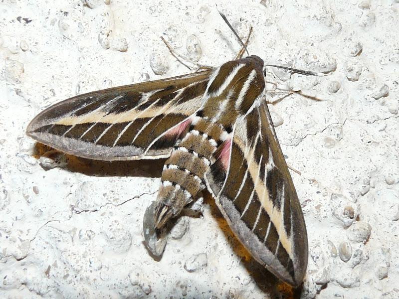 Nos b b tes papillon de nuit sphinx livourien ou sphinx orang hyles livornica - Signification papillon de nuit ...