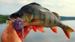 gafsele-pêche-suède-laponie-perche_007