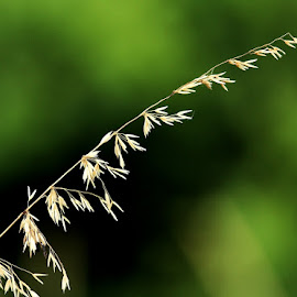 hawer by AB Rossouw - Nature Up Close Leaves & Grasses ( grass, nature up close, seeds, oats )