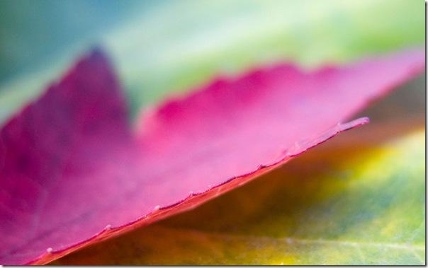 ws_Pink_leaf_1680x1050
