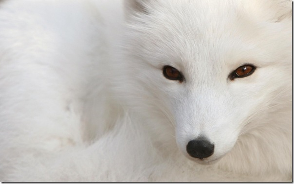 ws_Polar_Fox_1680x1050