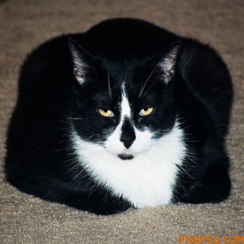 fatty_cats_640_57.jpg
