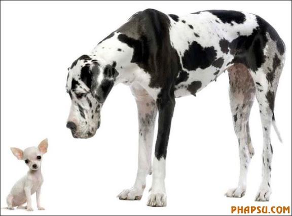 Dogue allemand HARLEQUIN adulte debout devant un fond blanc