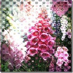 foxgloves17