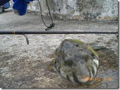 Puffer Fish 1